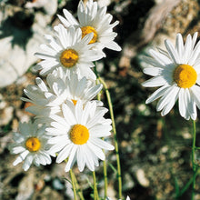 Load image into Gallery viewer, Ox-Eye Daisy