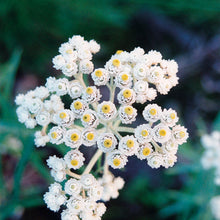 Load image into Gallery viewer, Pearly Everlasting