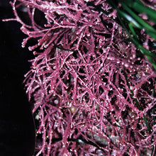Load image into Gallery viewer, Pink Seaweed