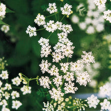Load image into Gallery viewer, Poison Hemlock