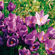 Load image into Gallery viewer, Purple Crocus