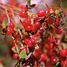 Load image into Gallery viewer, Red Huckleberry