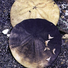 Load image into Gallery viewer, Sand Dollar