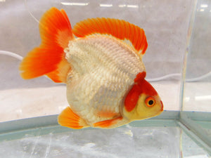 Goldfish, everything that is wrong with the hobby.