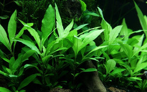 Plant of the Day Hygrophila 'Siamensis 53B'