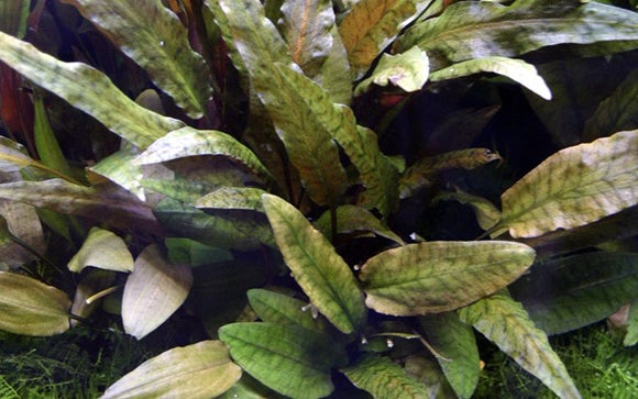 Plant of the Day Cryptocoryne wendtii 'Tropica'