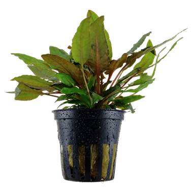 Cryptocoryne wendtii 'Tropica' Potted Plant Easy