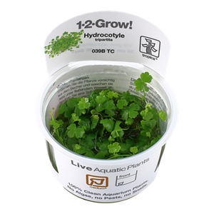 Hydrocotyle tripartita Tropica 1-2-Grow Medium Plant
