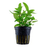 Staurogyne repens Potted Plant Tropica Easy