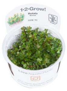 "Rotala ""bonsai"" - 1-2-Grow!"