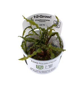 Cryptocoryne crispatula - 1-2-Grow!