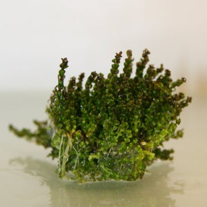 "Rotala sp. ""Pearl"""
