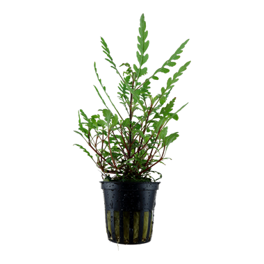 Hygrophila pinnatifida potted