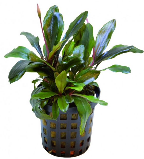 Bucephalandra Theia Green