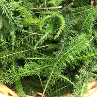 wild yarrow leaves in a basket
