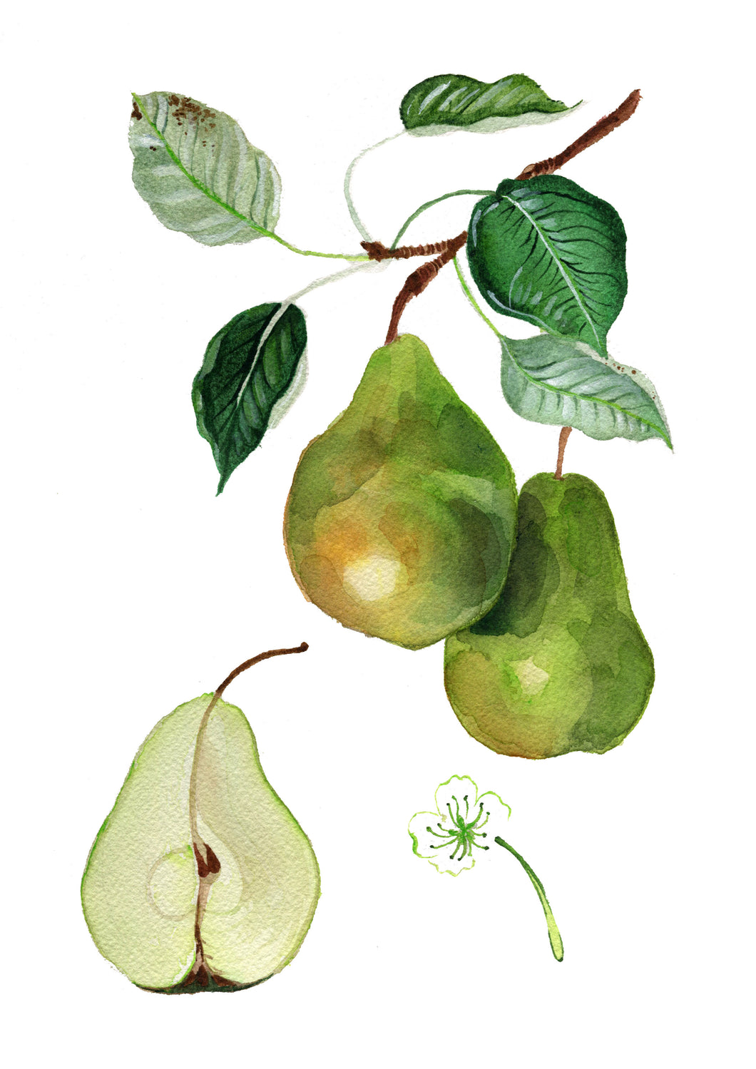 A pears life