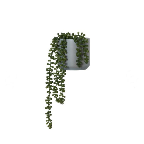String of Pearls Plant | Small