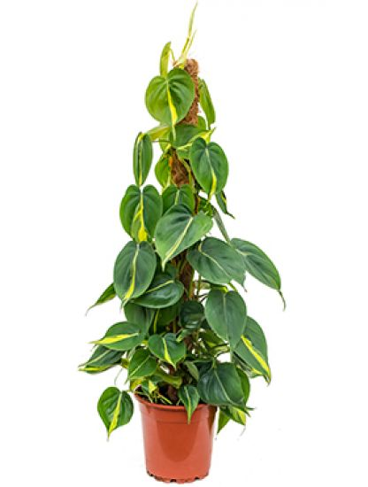 ●Philodendron grand brasil