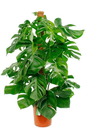 Philodendron Monstera - Fensterblatt