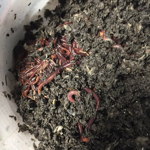 Red Wiggler Worms and Cocoons