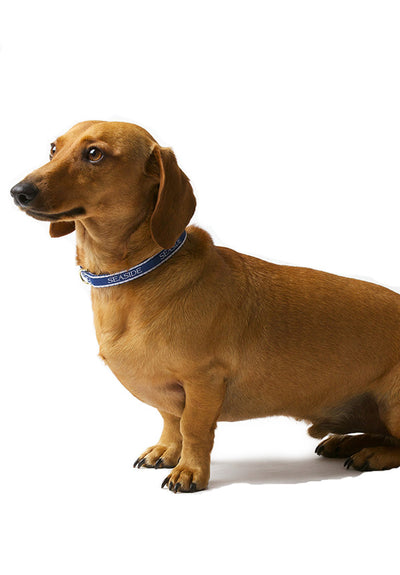 Bud the Dachshund with 14 inch Seaside Collar