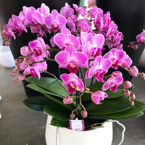 Special Phalenopsis