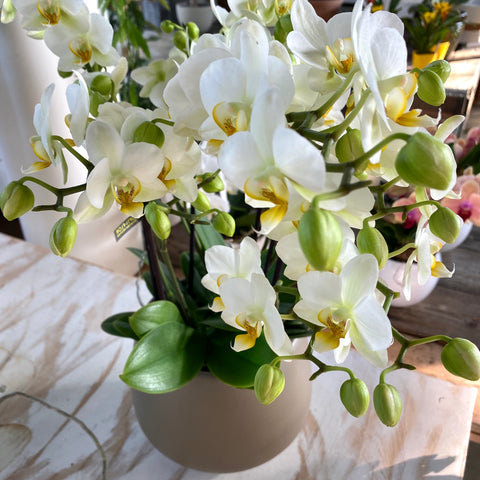 SPECIAL PHALENOPSIS WHITE