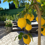 Citrus Lemon Florentia