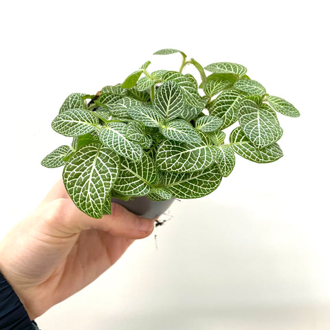"Fittonia ""Mosaic Light Green"""