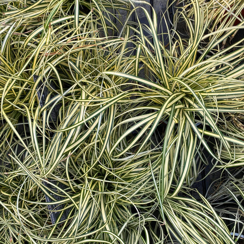 Carex EVER GOLD