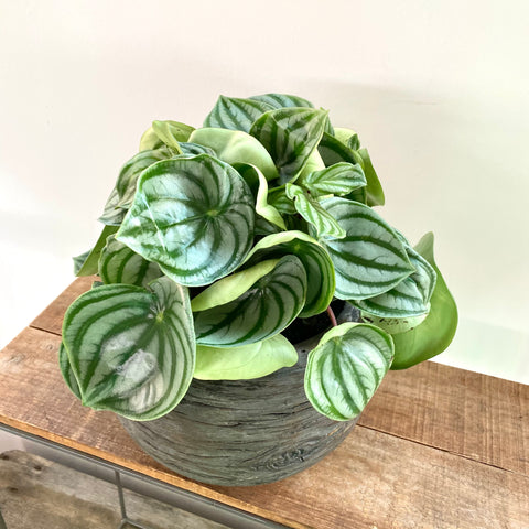 Peperomia Waterlemon