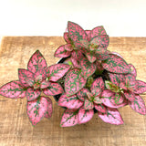 "Fittonia ""Red Tiger"""