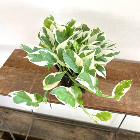 "Pothos ""Happy Leaf"""
