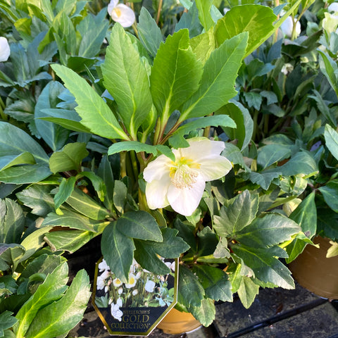 "HELLEBORUS ""ROSA DI NATALE"" GOLD COLLECTION"
