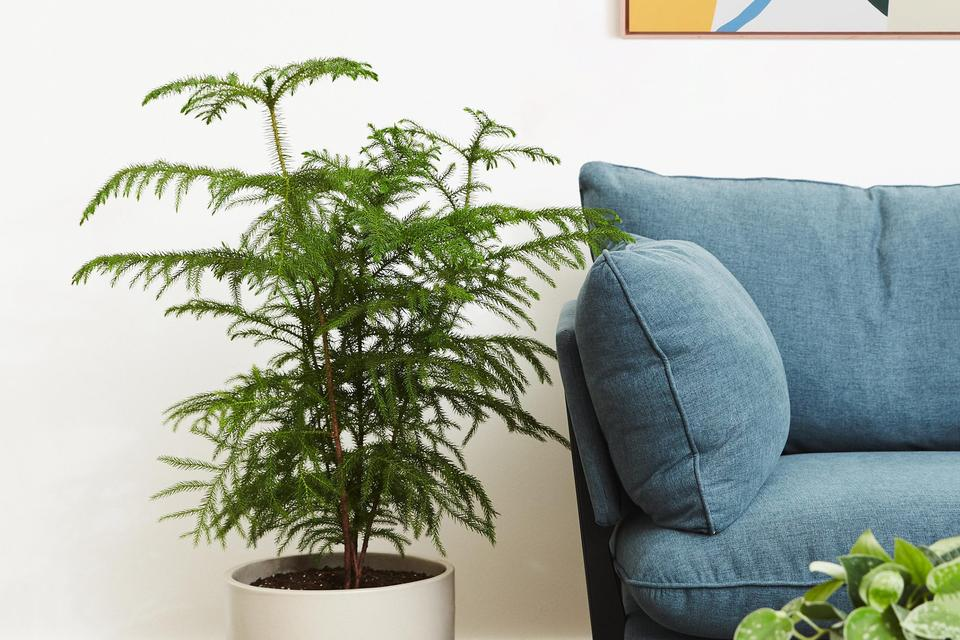 The Perfect Living Room Plant