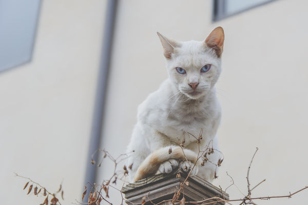 white cat perched upon small tower looking angry cautioning against wrinkles from angry face as part of K-beauty influenced holistic skincare habits and tips