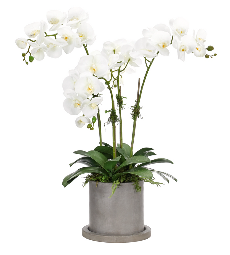 Orchid in Cement Pot