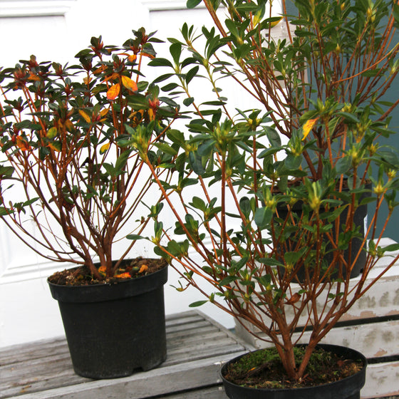 Azalea – A mix of varieties available