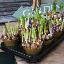 Tray of 12 potted bulbs