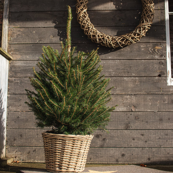 Potted Christmas Tree 2ft