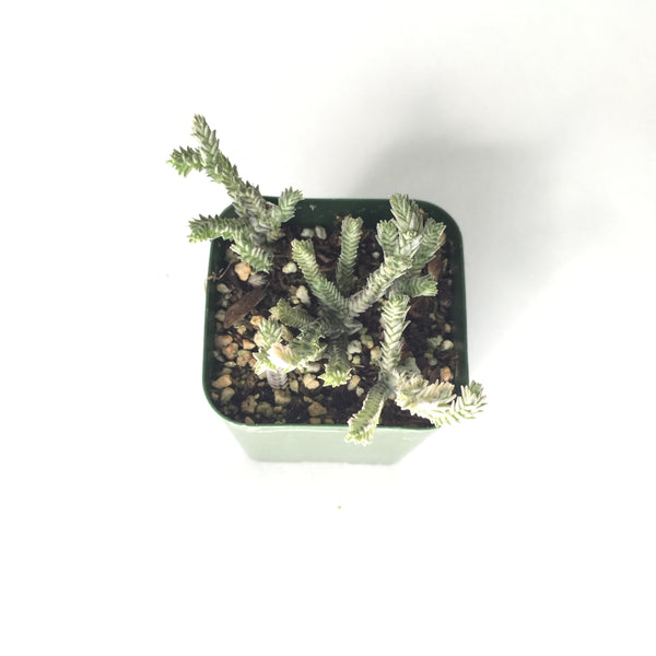 Crassula Mucosa Variegated 2in #13