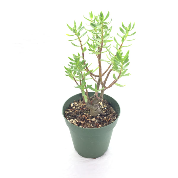 Crassula Sarcocaulis 4in #117  (no ship)