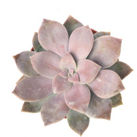 Graptopetalum Superbum 4in #206