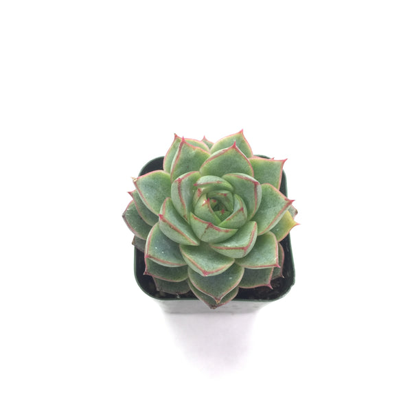 Echeveria Fabiola 2in #31