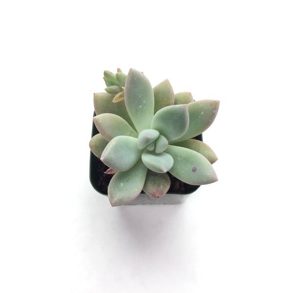 Graptoveria Opalina 2in #60