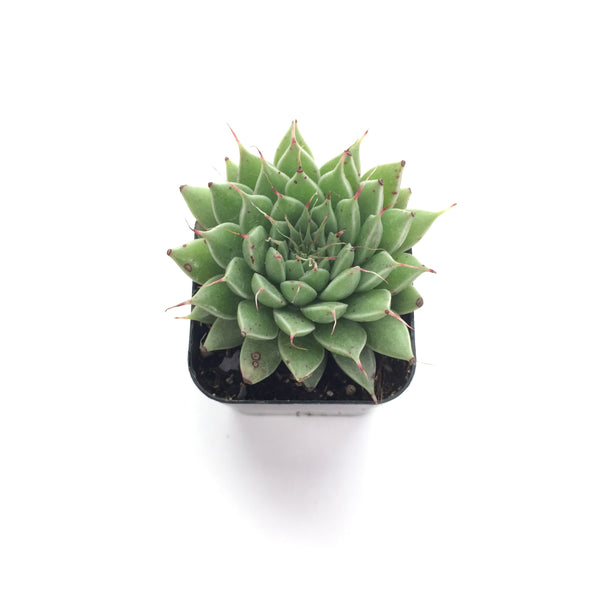 Graptoveria Silver Star 2in #61