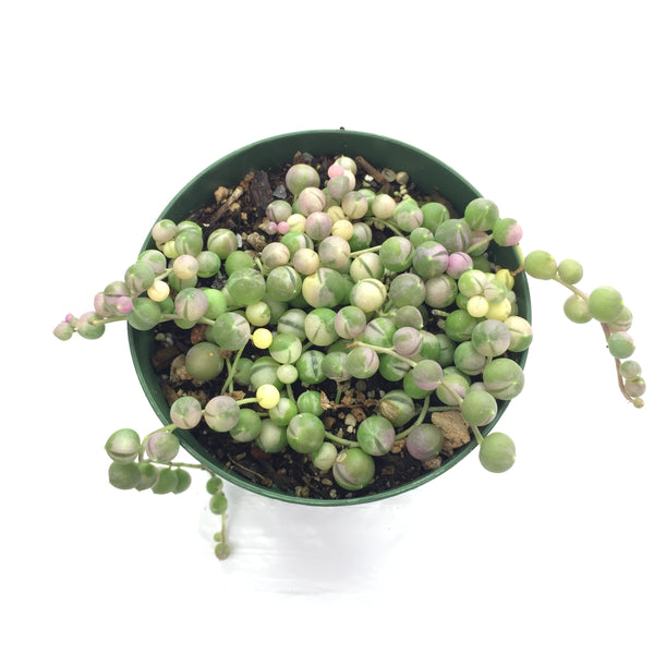 String of Pearls Variegated 4in #101 (limit 1)