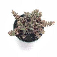 Sedum Pluricaule Isle of Sakhalin 4in #123