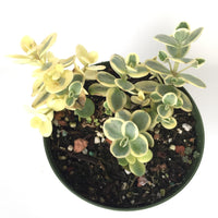 Sedum Sunsparkler Variegated 4in #203