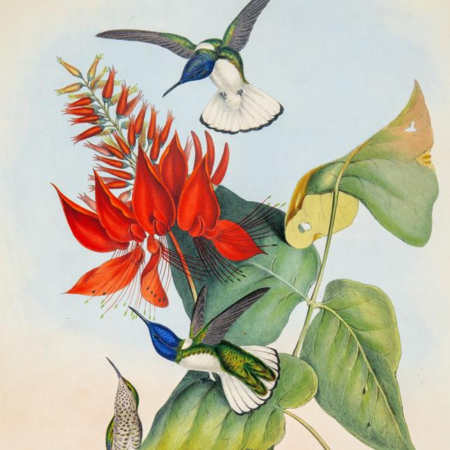 Gould - Hummingbirds